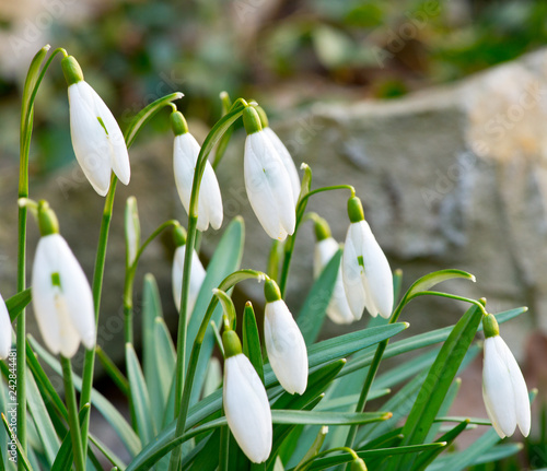 Fototapety, obrazy: A bed of the snowdrops in the garden