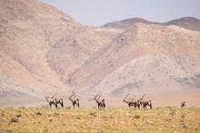 South African Oryx - Oryx Gazella Gazella, Beautiful Iconic Antelope From Namib Desert, Namibia.