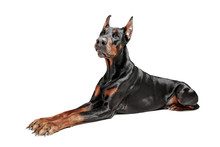 Doberman Dog Isolated On White...