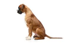 Studio Shot Of An Adorable Boxer Dog