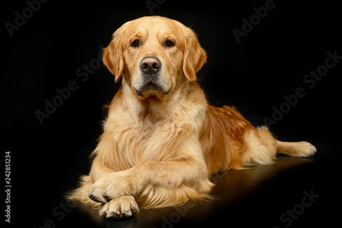 Fotografia Studio shot of an adorable Golden retriever