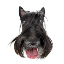 Wide Angle Shot Of An Adorable Scottish Terrier
