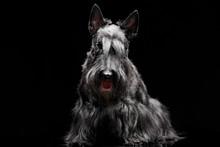 Studio Shot Of An Adorable Scottish Terrier