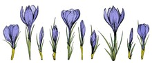 Set Of Purple Crocus Flowers. Hand Drawn Vector Illustration.