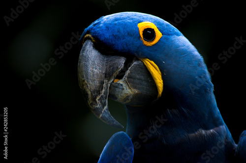 Photo sur Toile Perroquets Blue parrot