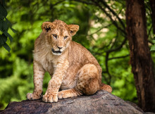 The Portrait Of A Lion Cub