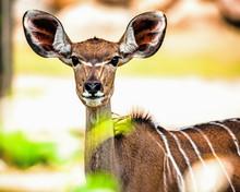 Portrait Of A Greater Kudu Fem...