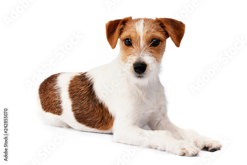 Fototapeta Studio shot of an adorable Jack Russell Terrier