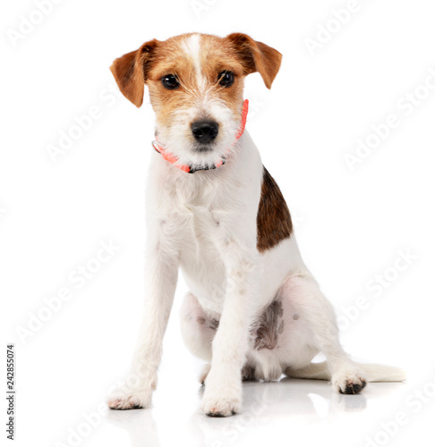 Fotografie, Obraz  Studio shot of an adorable Jack Russell Terrier