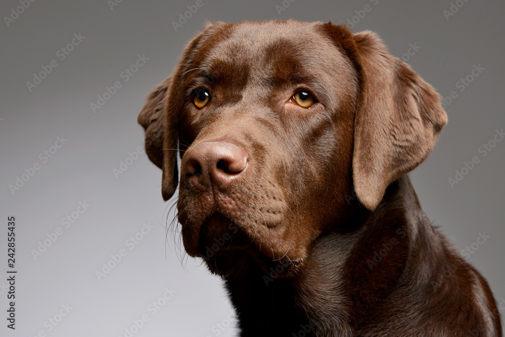 Fototapety, obrazy: Portrait of an adorable Labrador retriever