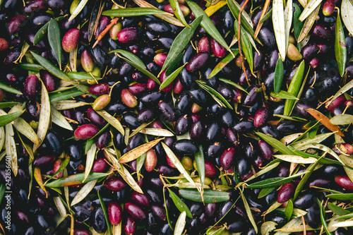 Harvest of olives