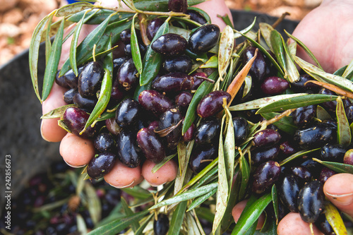 Harvesting black picual olives