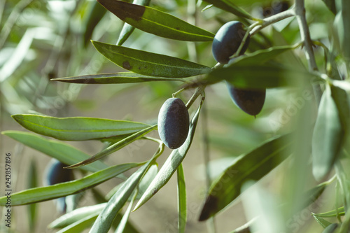 Detail of black olives in olive tree