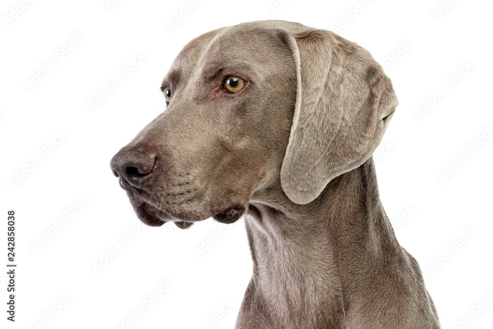 Fototapety, obrazy: Portrait of an adorable Weimaraner