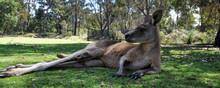Cool Kangaroo In Tasmania, Aus...