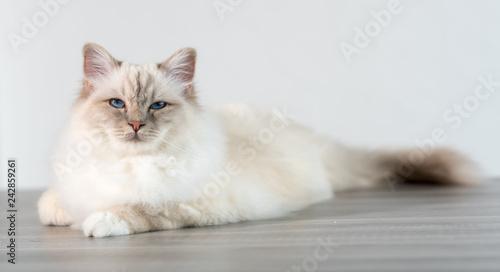 Cuadros en Lienzo Portrait of beautiful sacred cat of burma