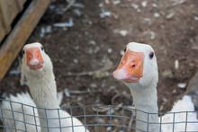 White Gooses In Enclosure Brow...