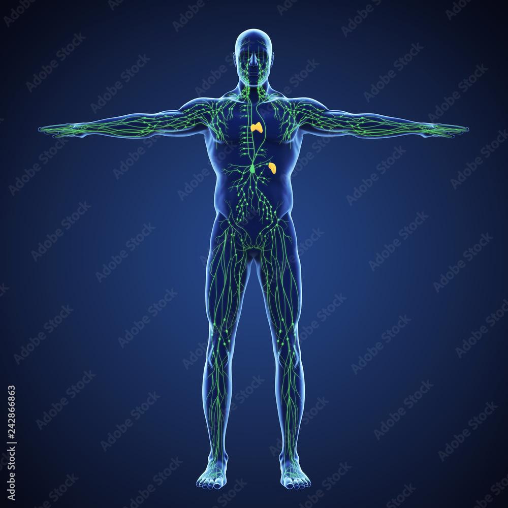 Fototapeta Human Lymphatic System Illustration