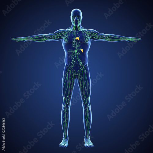 Fotografia Human Lymphatic System Illustration