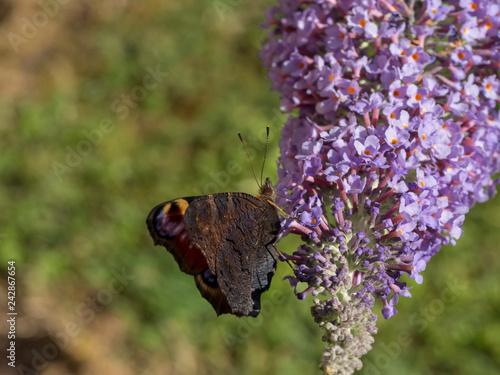 Fotografie, Obraz  Papillon Aglais io - Revers du paon-du-jour posé sur fleur de buddleia