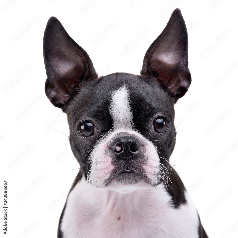 Fototapeta Portrait of an adorable Boston Terrier - obraz na płótnie