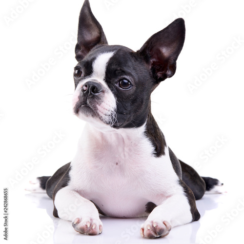 Fototapeta Studio shot of an adorable Boston Terrier obraz na płótnie