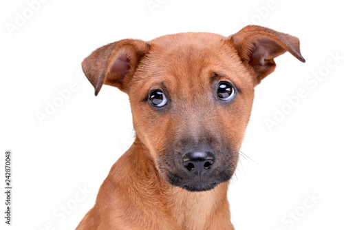 Obraz Portrait of an adorable mixed breed puppy - fototapety do salonu