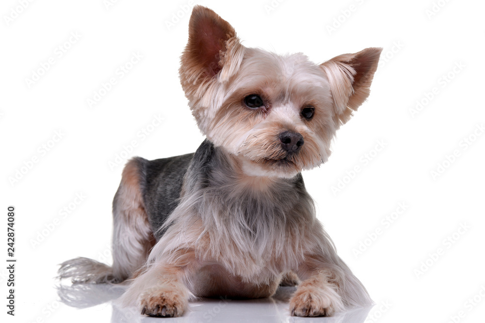 Fototapety, obrazy: Studio shot of an adorable Yorkshire Terrier