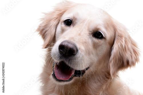Poster Chien Portrait of an adorable Golden Retriever
