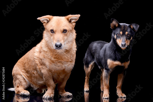 Poster Hyène Studio shot of two adorable mixed breed dog