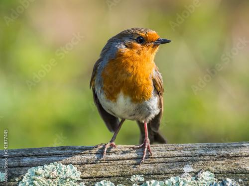 Canvas Print Robin, Close up