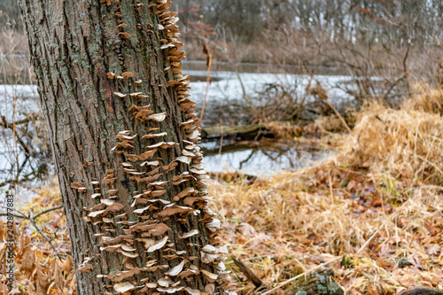 Fotografie, Obraz  Tree Trunk with Fungi in a Forest at Suburban Willow Springs in Illinois during