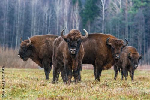 La pose en embrasure Bison Żubr w Białowieskim Parku Narodowym.