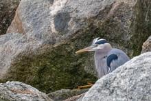 Great Blue Heron Hiding In Rocks At Point Lobos State Reserve, Carmel, California