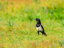 Magpie Foraging In A Meadow