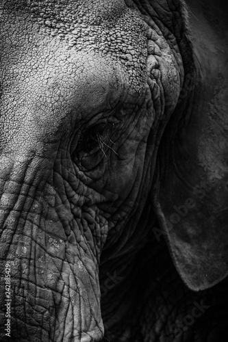 Fotografie, Obraz  Close-up gritty black and white photo of face of elephant showing eyes and part of ear