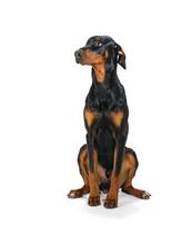 "Portrait Of A Dog- ""Doberman"""