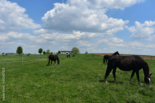 Fotografie, Obraz  Large Herd of Draft Horses on a Farm in Lancaster County