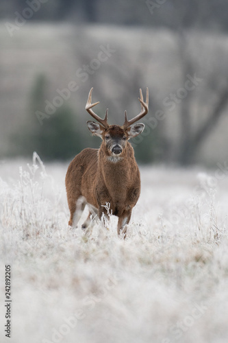 Poster Deer White-tailed deer buck in frost covered field