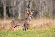 White-tailed Deer Buck In Open...