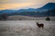 White-tailed Deer Buck In Frosty Field