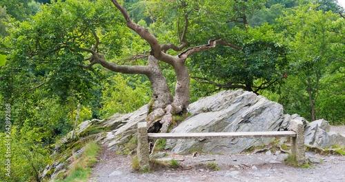 Rotbuche (Fagus sylvatica) auf der Sonnenklippe, Sitzbank, Bodetal, Harz, Sachsen-Anhalt, Deutschland, Europa