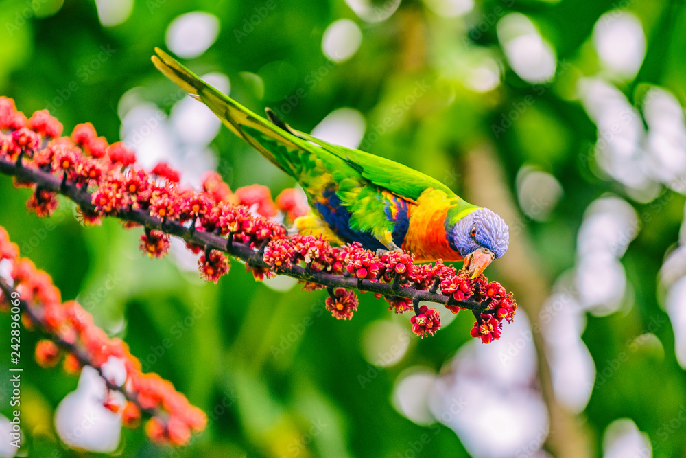 Rainbow lorikeet bird parrot eating flower buds off tree branch in nature wilderness park in Sydney, Australia. Colorful australian birds.