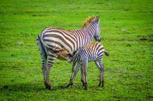 Zebra With Baby In Serengeti