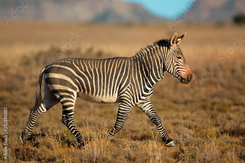 Poster Zebra Cape mountain zebra (Equus zebra), Mountain Zebra National Park, South Africa.