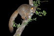 canvas print picture Nocturnal greater galago or bushbaby (Otolemur crassicaudatus) in a tree, South Africa.