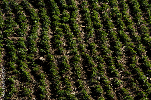 Fotografie, Obraz  Potato crop from above in latin america with geometric lines