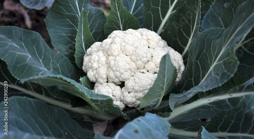 Fotografie, Obraz  In organic soil grown cauliflower