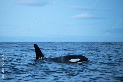 Fotografie, Obraz  killer whale, orca, orcinus orca