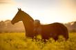 Reiterin und Pferd stehen im Rapsfeld im Sonnenuntergang